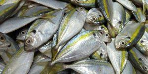 Ikan yang mengandung omega 3